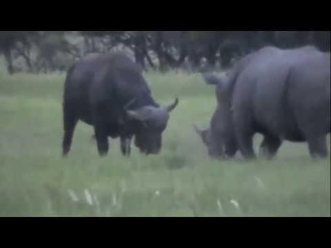 Tê giác và trâu rừng- Rhino and Buffalo battle
