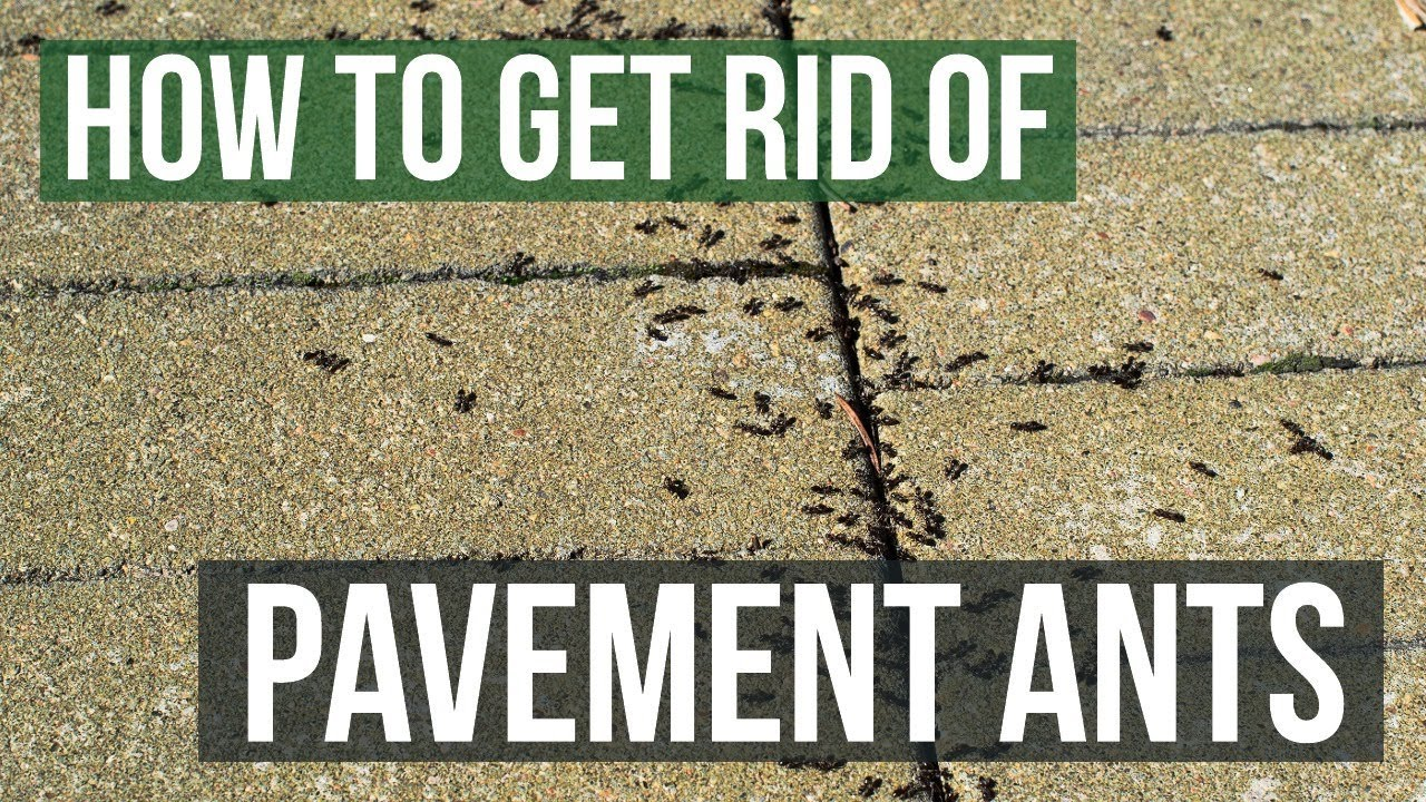 How to Get Rid of Pavement Ants (3 Simple Steps)