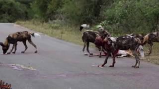 дикие собаки едят за живо добычу
