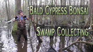 Bald Cypress Bonsai Swamp Collecting