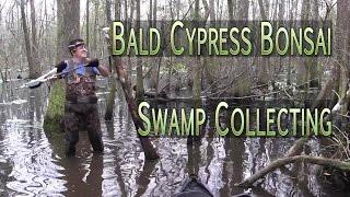 Bald Cypress Bonsai Swamp Collecting