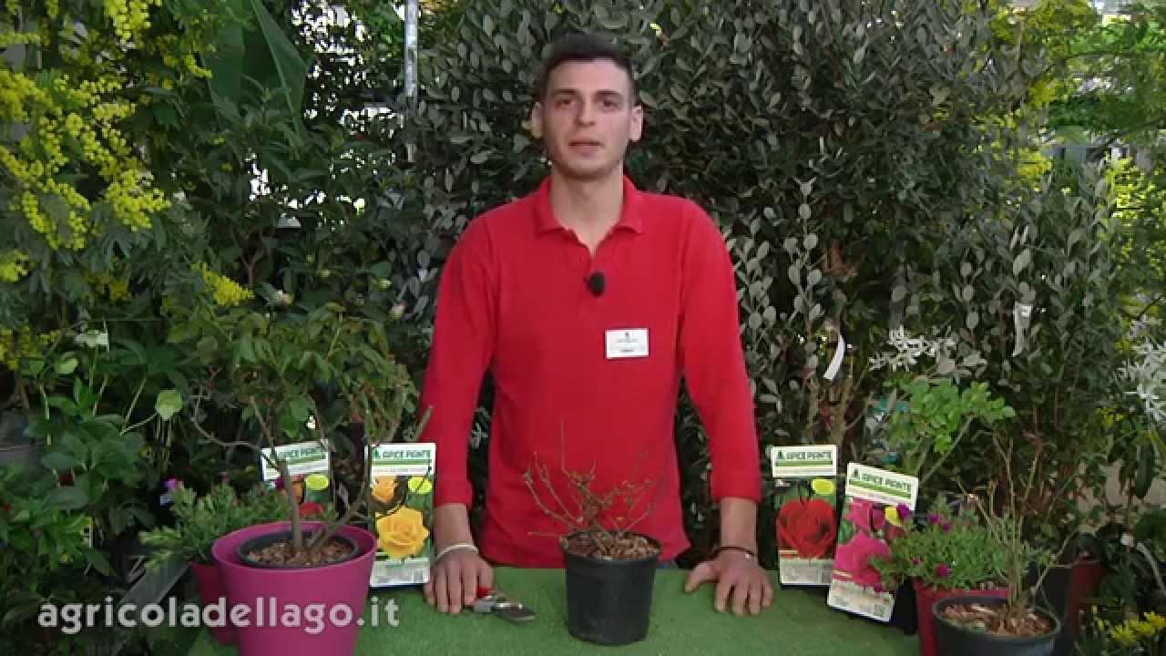 Coltivare una rosa in vaso youtube for Coltivare more in vaso