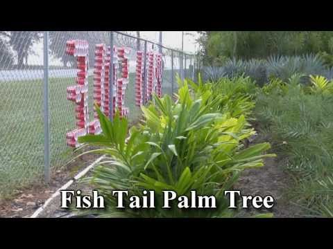 *Plant Palm Trees* +Fish Tail Palm Tree+Caryota Mitis+Exotic Leaf+