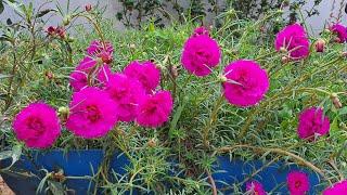Conheça 8 Plantas Anuais – Fornecem Apenas Uma Florada