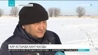 Алматы облысында 600 гектар жүгері жиналмай, қар астында қалды