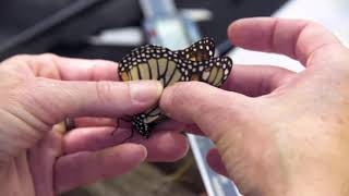 Monarch Butterfly Migration Update
