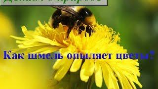 Шмель на цветке ✿ Как шмели опыляют цветы?