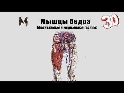 Мышцы бедра (фронтальная