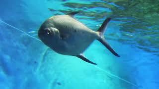 コバンアジ Black-spotted dart, Doublespotted queenfish Trachinotus baillonii   スズキ目スズキ亜目アジ科コバンアジ属