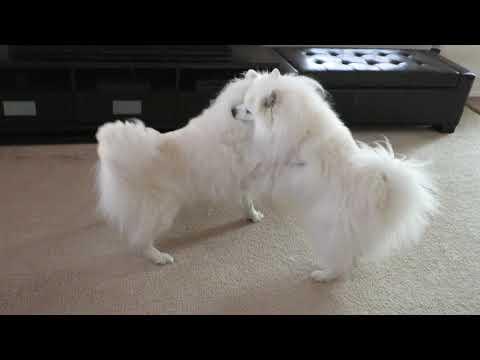 A Puppy Play Session With 3 American Eskimo Dogs