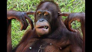 Смешные обезьяны Приколы с животными на канале ОРАНГУТАНГ(Смешные обезьяны Приколы с животными на канале Орангутанг СМЕШНЫЕ ОБЕЗЬЯНЫ, Орангутан, живут на деревья..., 2015-05-23T13:42:15.000Z)