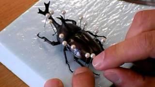 甲虫標本の作り方