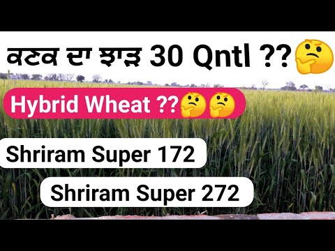 Shriram wheat 272 and super 172 seed details