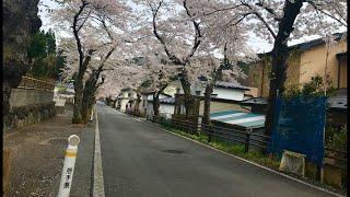 日本一周女ひとり旅276日目。岩手県釜石市の唐丹町本郷の桜並木Live