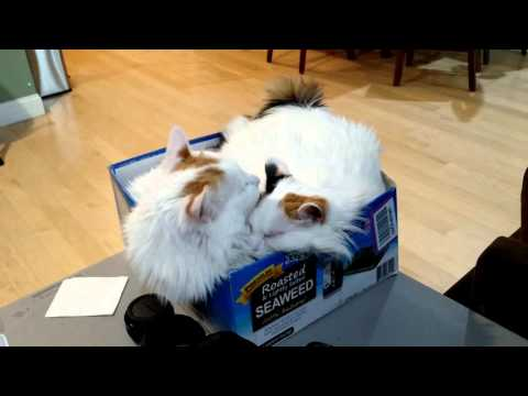 Japanese Bobtail Cats Love Boxes