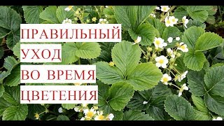 Выращивание Клубники. Правильный Уход Во Время Цветения.(12.06.17)