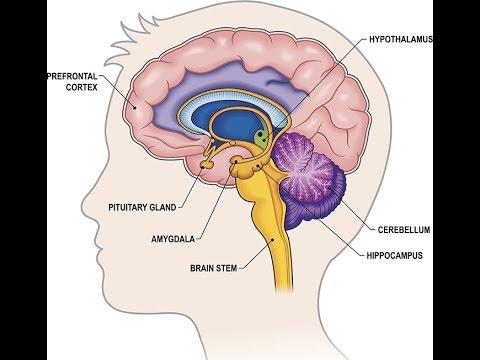 Brain, Limbic System, Head, and Sinus Support Hand Reflexology Tip