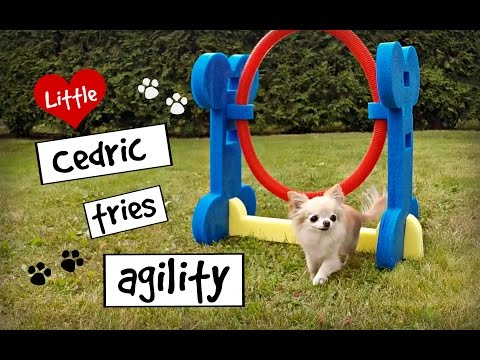 CUTE PUPPY Sized Chihuahua Tries Small Dog AGILITY