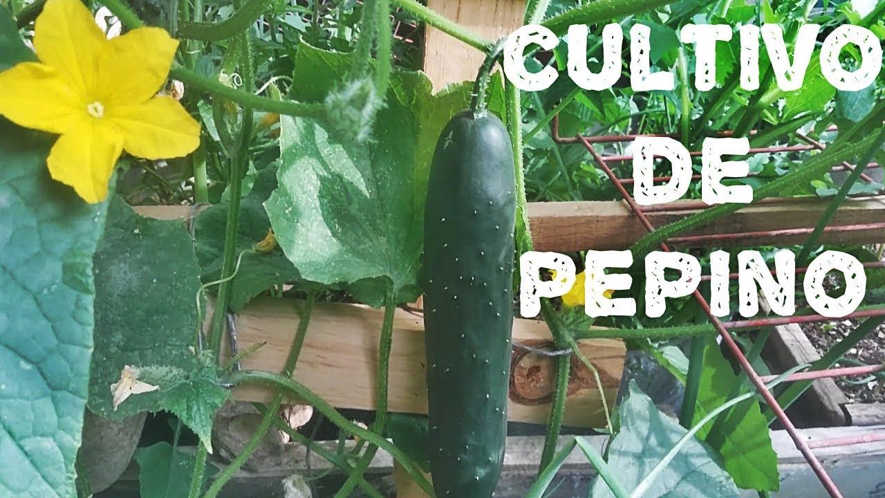 Download COMO CULTIVAR PEPINOS(AGRICULTURA ORGÁNICA)