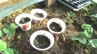 Посадка в теплице томатов лука и картофеля семенами 16 04 2016г(Прошло 3 недели с момента посадки семян лука томатов и картофеля и появились первые всходы. Надеюсь что..., 2016-04-24T10:13:54.000Z)