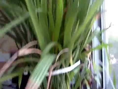 Финиковая пальма из косточки: как вырастить финик дома?
