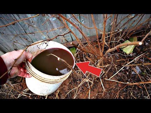 Облейте этим кусты малины весной от всех вредителей и болезней! Чем обработать малину ранней весной?