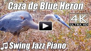 Swing Jazz Piano Blue Heron Ave Caza Viendo Temas Instrumentales música naturaleza video 4K lounge