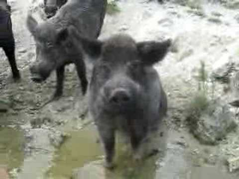 Lenka Feeding Wild Boar!