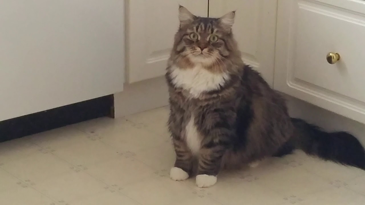 фото сибирский кот