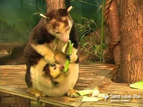 Tree Kangaroo Joey Growing Up At Saint Louis Zoo Youtube