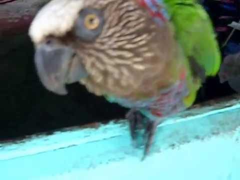 My Red-Fan Parrot (Deroptyus accipitrinus) aka Charlie