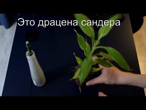 Что произошло с бамбуком (драцена Сандера) и это растение растёт под водой