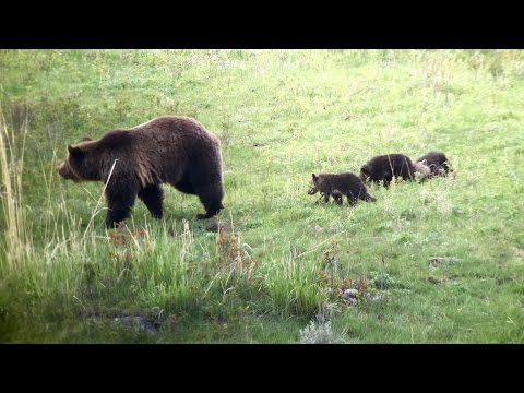 Yellowstone National Park May 2015 - Bears, Wolves and Predators