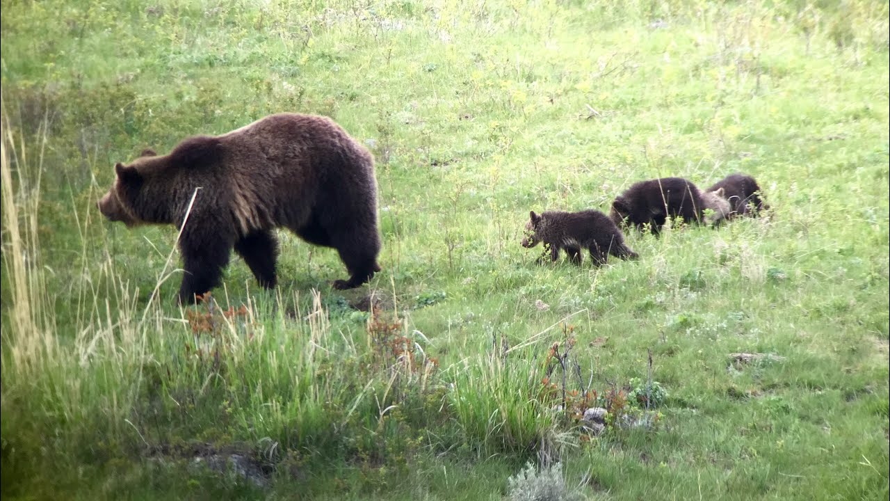 Yellowstone National Park May 2015 Bears Wolves And