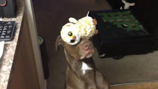 Service Dog balances stuffed animal on head while siting pretty
