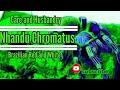 A look at: Nhandu Chromatus