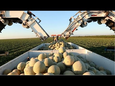 Amazing Agriculture Fruit Harvesting Compilation #14 - Cantaloupe Growing Harvesting and Parking