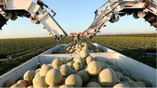 Amazing Agriculture Cultivation - Cantaloupe Growing Harvesting and Parking