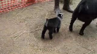 Pygmy Goat Happy Dance