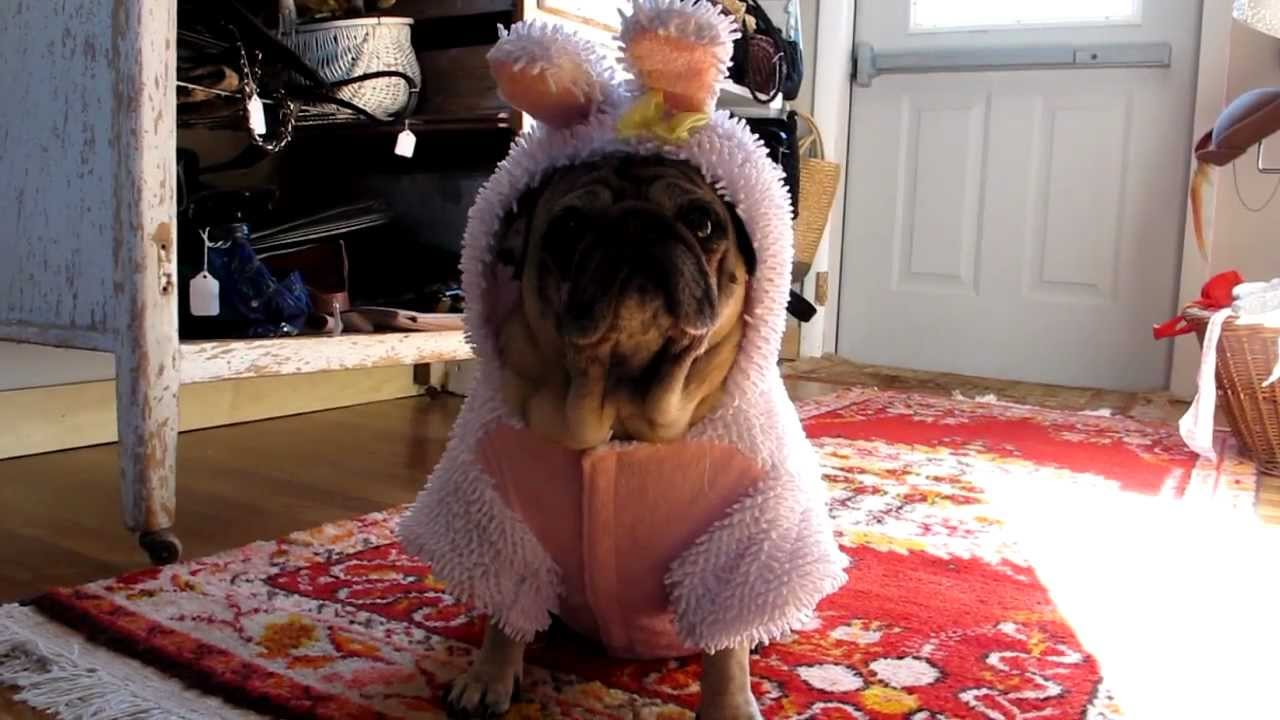 unhappy pug in an easter bunny costume youtube