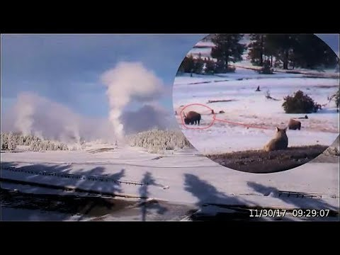 Coyote Scopes Out Bison @Yellowstone! Major Geysers! Nov 30, 2017