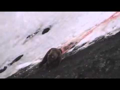 Canadian Grizzly bear hunt video