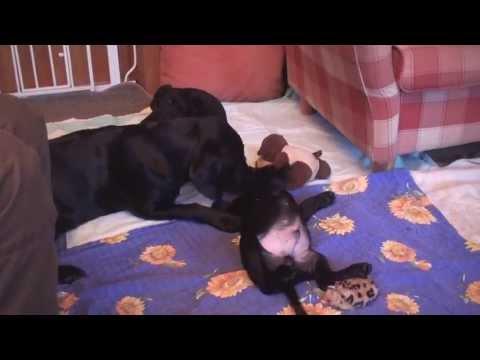 Labrador Welpen Geburt   HUND-unterwegs.de
