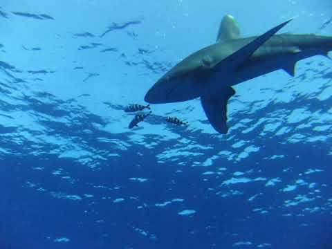Oceanic White tip Elphinstone reef 26/06/18