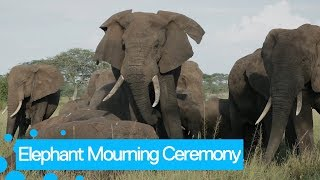 Extraordinary footage captured of elephants mourning a deceased friend in Tanzania