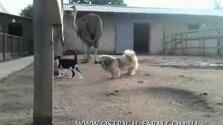 Страусы-собака-кот :)
