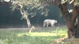 Tiger video, white tiger hungry waiting for food
