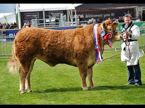 Interbreed Cattle Judging at Balmoral Show 2013