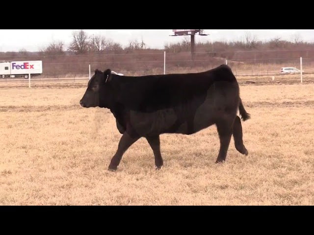 Missouri Angus Futurity Lot 43