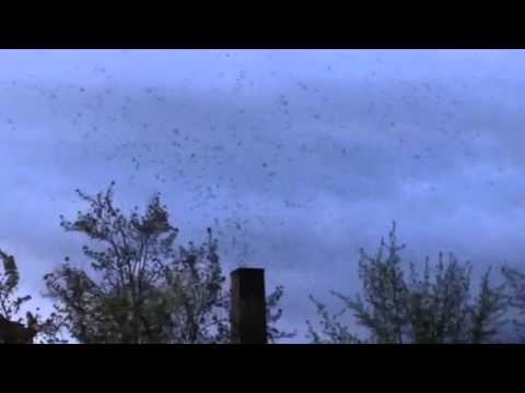 Vaux's swifts roosting in Eugene 2015